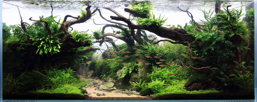 Narrow Leaf Java fern can be spotted on the left and right driftwood toward the surface.