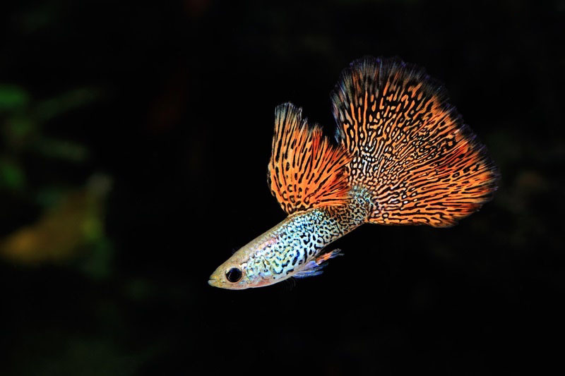 Male Guppy