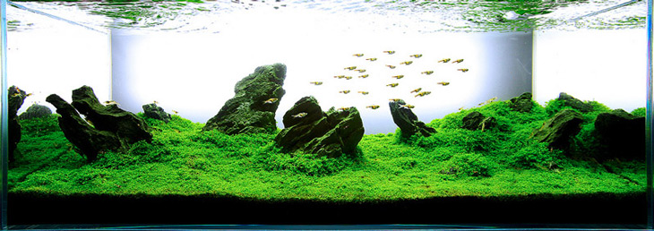 Amazing HC Is Possibly The Most Popular Of All Aquascaping Plants. Itu0027s Unique  Ability To Carpet The Entire Aquarium With A Bright Green ...