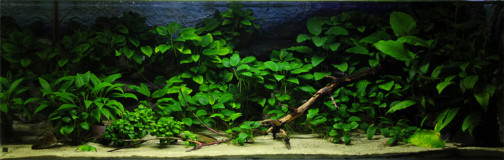 A garden of Anubias in a low tech setup. Anubias Nana Leaves are similar with half the diameter.