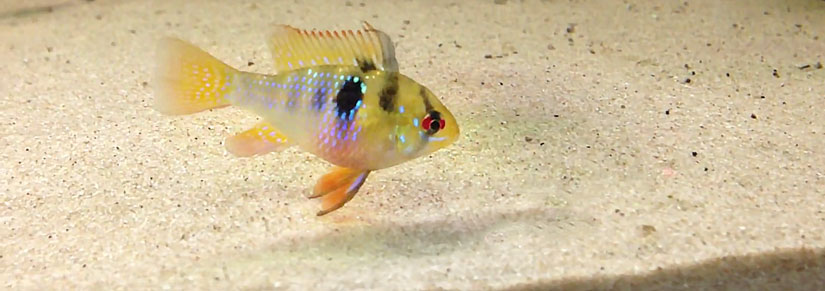 Ram Cichlid – Care, Diet & Breeding