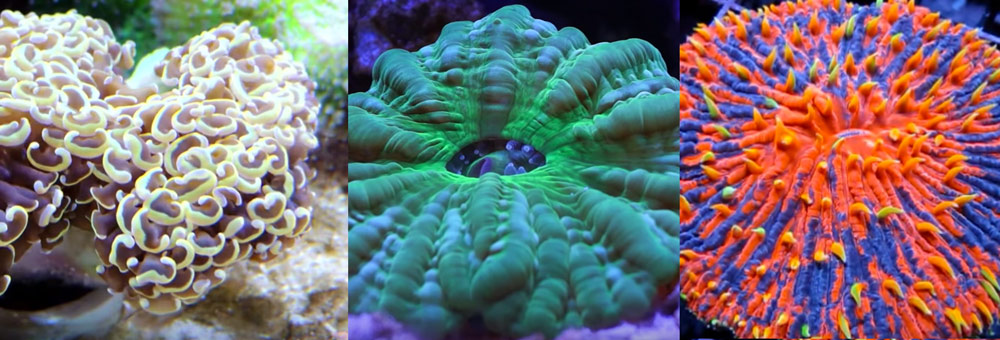 The Easiest LPS Corals for Beginners
