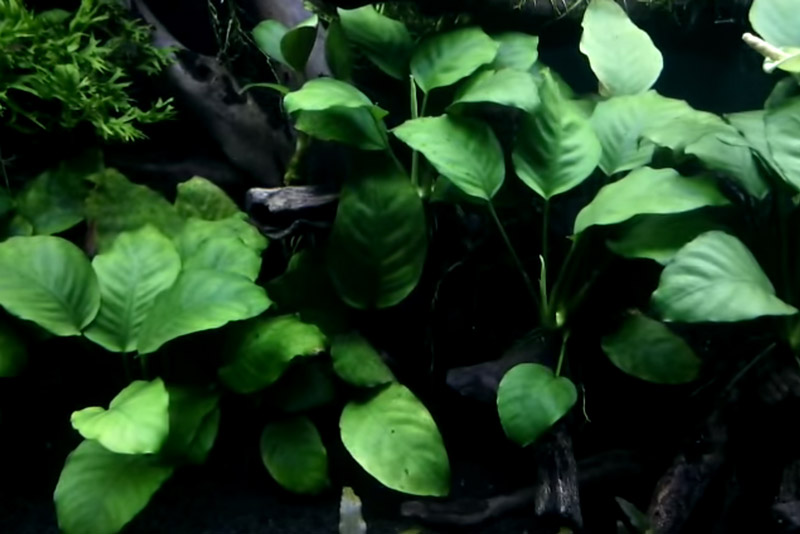 Anubias clustered around driftwood in a low light aquarium.