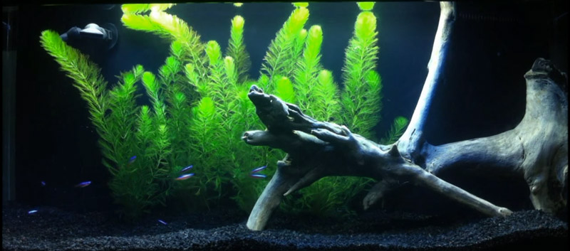Hornwort being used as a background plant in this neon tetra aquarium.