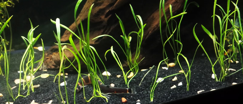 Micro Sword planted sparsely in the aquarium substrate.