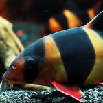 Clown Loach displaying orange and black banding