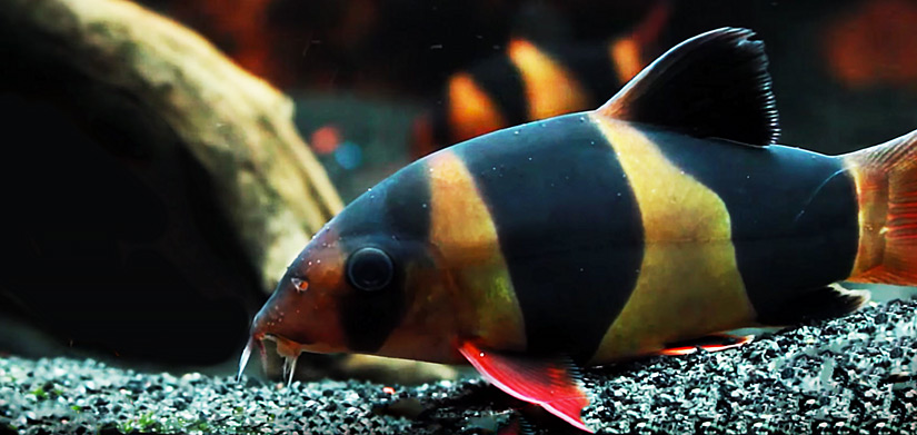 Clown loaches fish