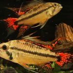 Double Red Cockatoo Cichlid Signalling to breeding pair