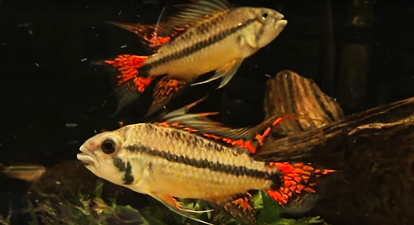 Double Full Red Cockatoo Cichlid –  Care, Diet & Breeding