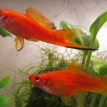 Male and Female Orange Swordtails in Planted Aquarium
