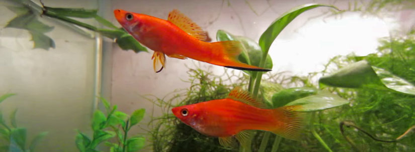 Swordtail Fish – Diet, Care and Breeding