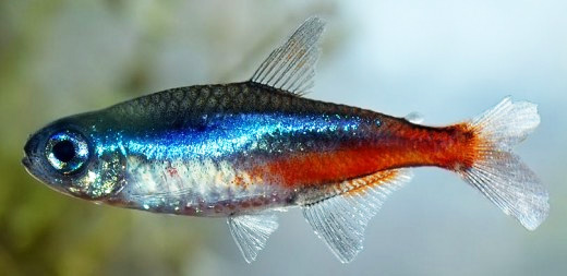 Sick Neon Tetra – Diseases and Treatment