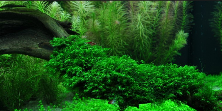 Java Moss in the aquarium