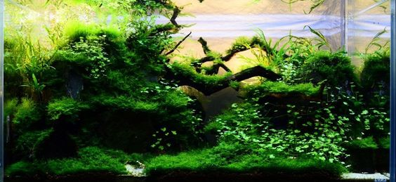 Java Moss Is Useful For Covering The Substrate, Rocks And Driftwood