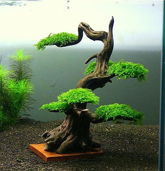 A carefully constructed Java Moss bonsai tree