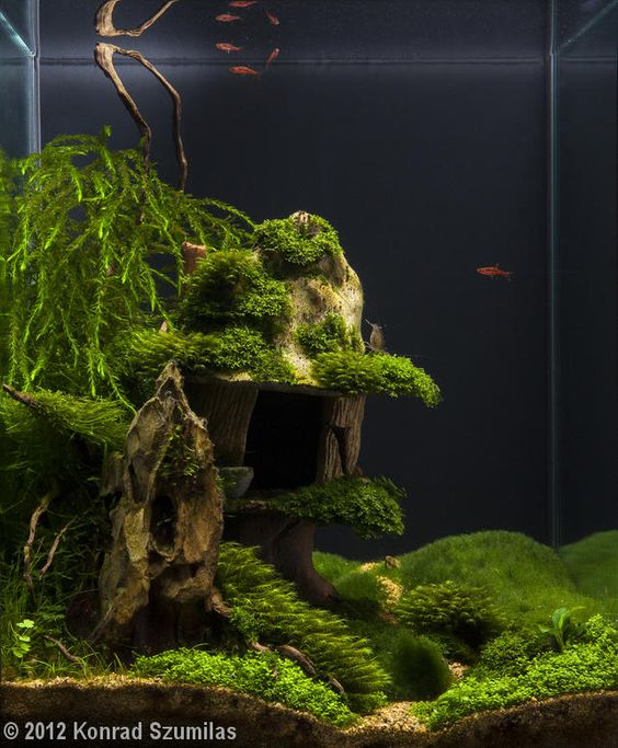 Java Moss - Care, Tips, Moss Carpets & Moss Trees ...