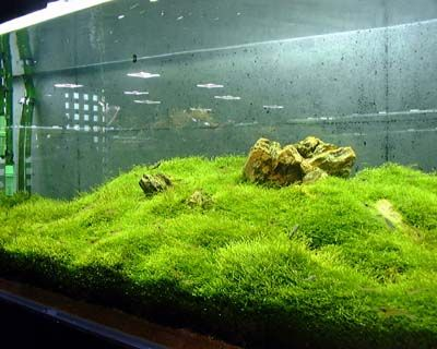 Java Moss carpeting the bottom of the aquarium